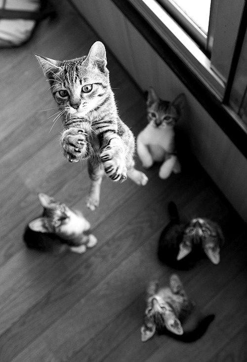 gatos salto